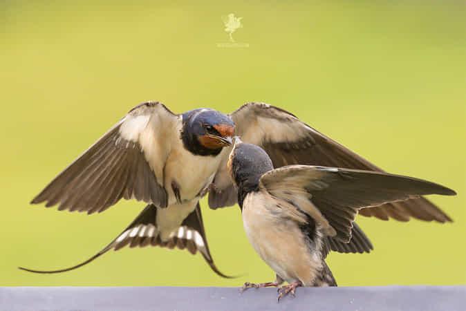 Barn Swallow Dedication by Roeselien Raimond