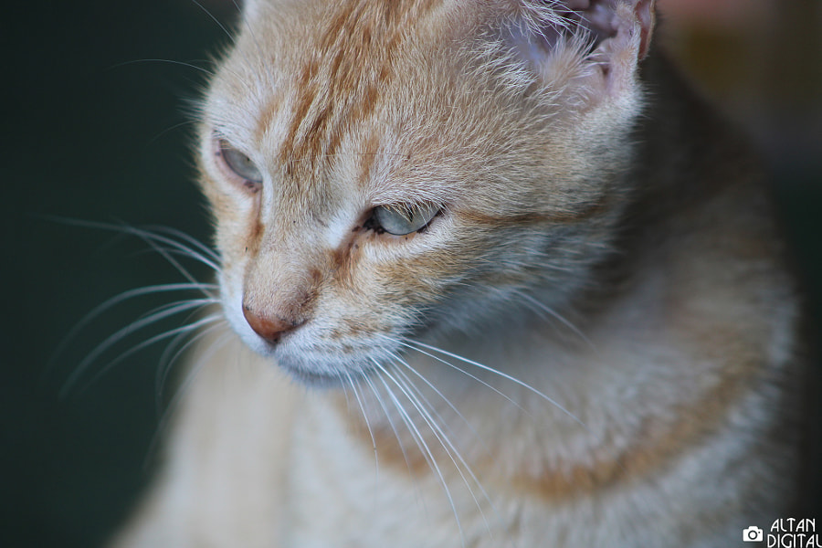 Pensive Cat by Altan Selçuk on 500px.com