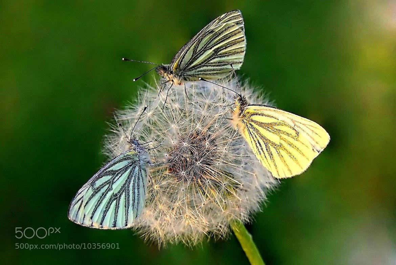 Photograph Trzy motyle by Anita Kryszkiewicz on 500px