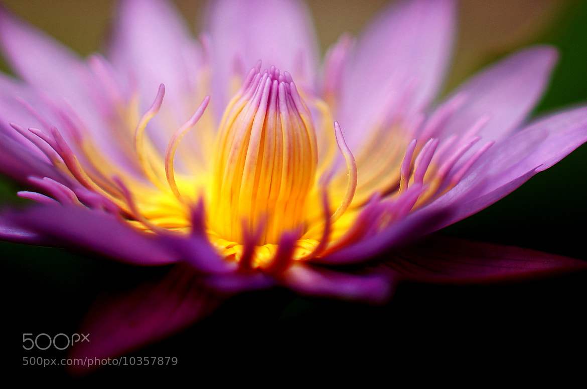Photograph Thai lily by Diep Nguyen on 500px