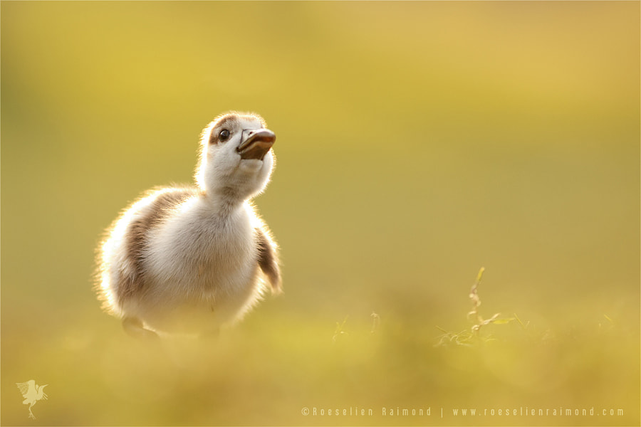 DreamDuckie by Roeselien Raimond on 500px.com