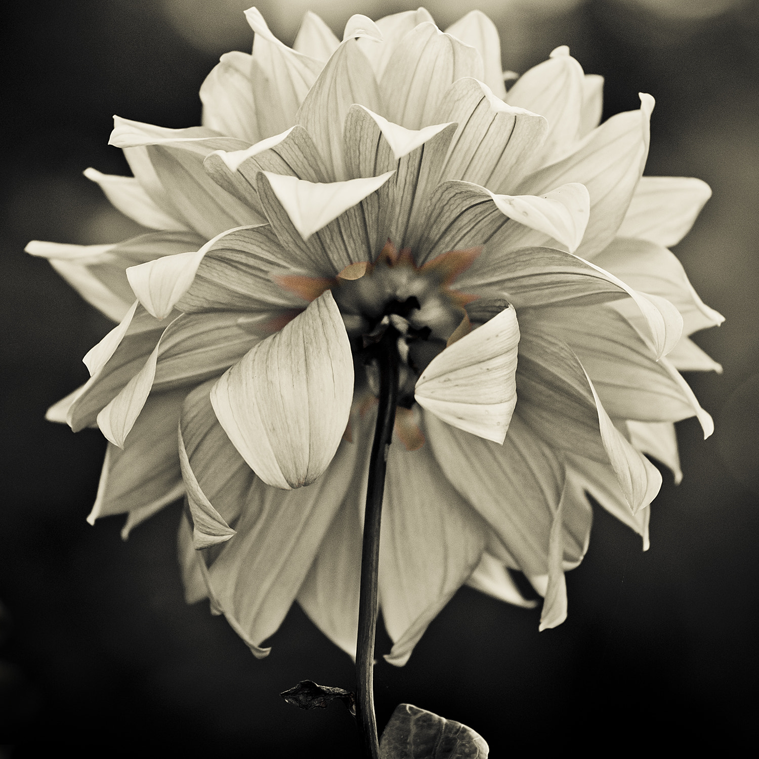 Photograph Backside Flower by ~ angie  on 500px