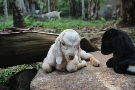 One day old baby goats by Bibin Dominic Tom