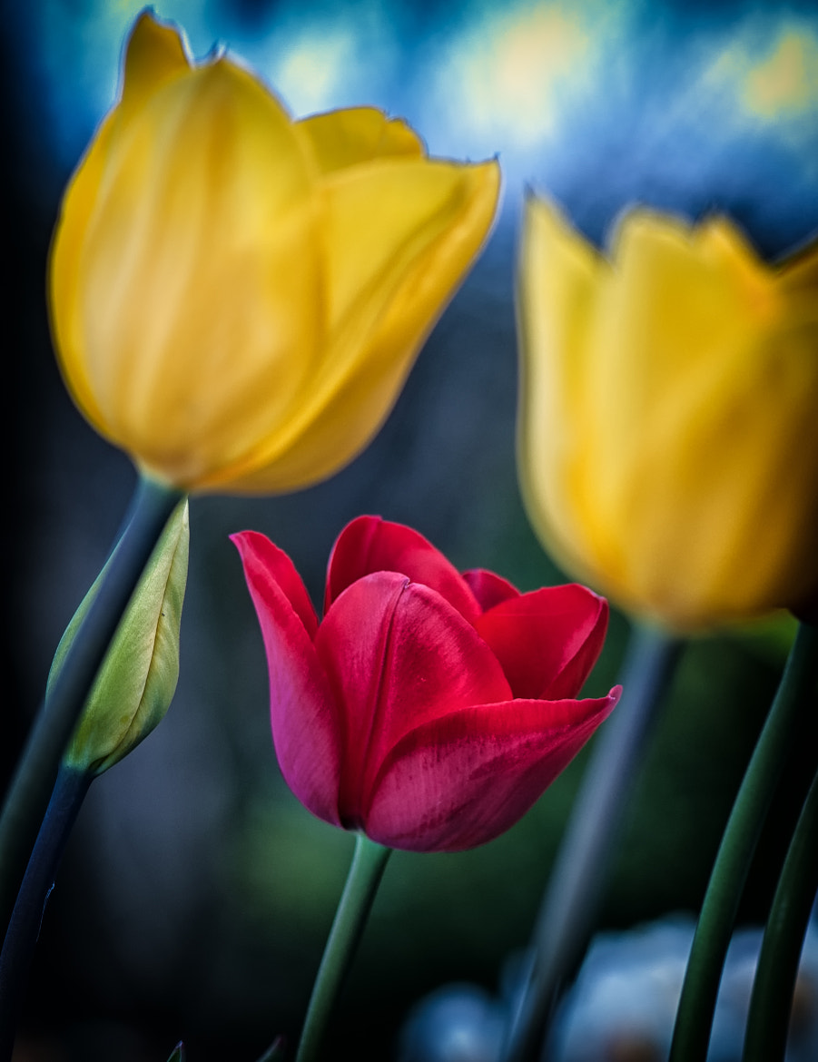 Photograph Tulips by Charles Foreman on 500px