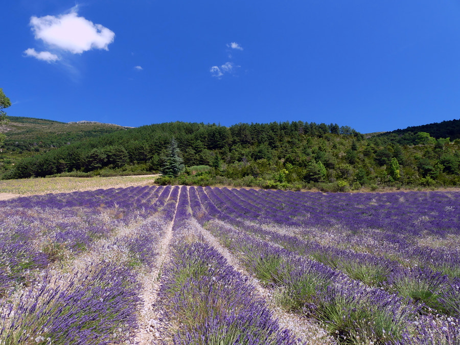 Lavender fields at Moustier Ste Marie (France) by Yves LE LAYO on 500px.com