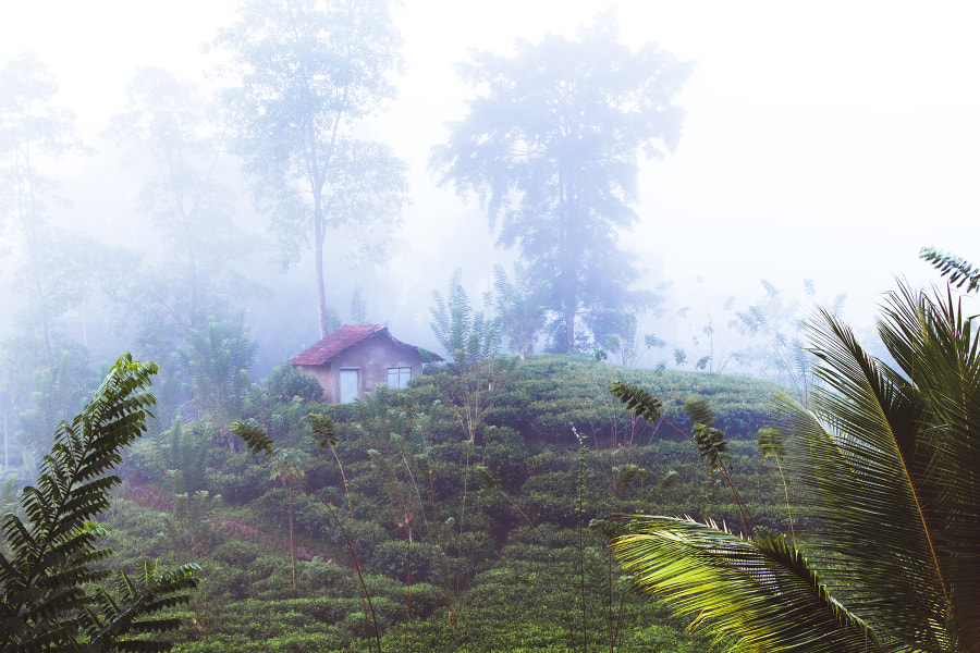 Tea Plantation. Sri Lanka