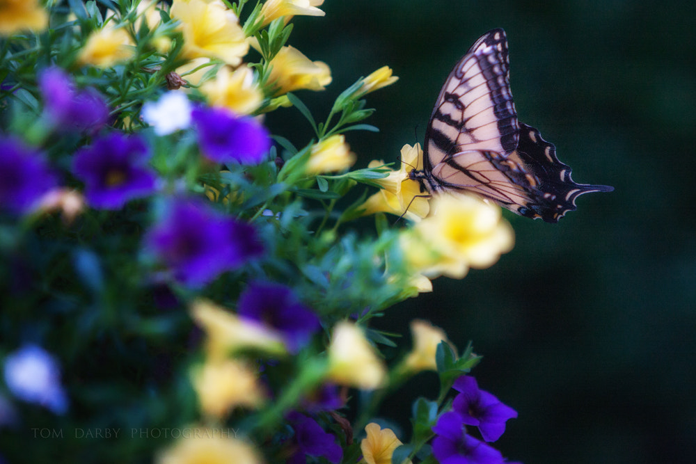 Photograph Tiger Swallowtail by Tom Darby on 500px