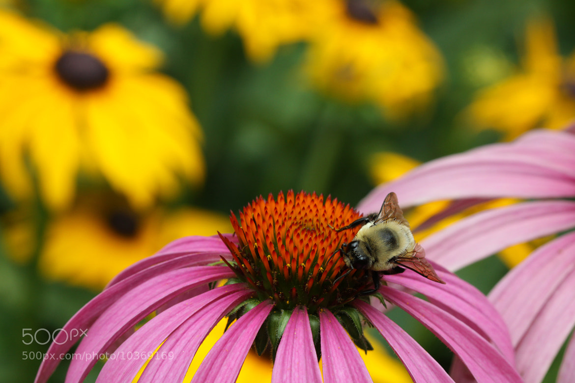 Photograph Bee Among Cones And Susans by Kenneth  Maurer on 500px