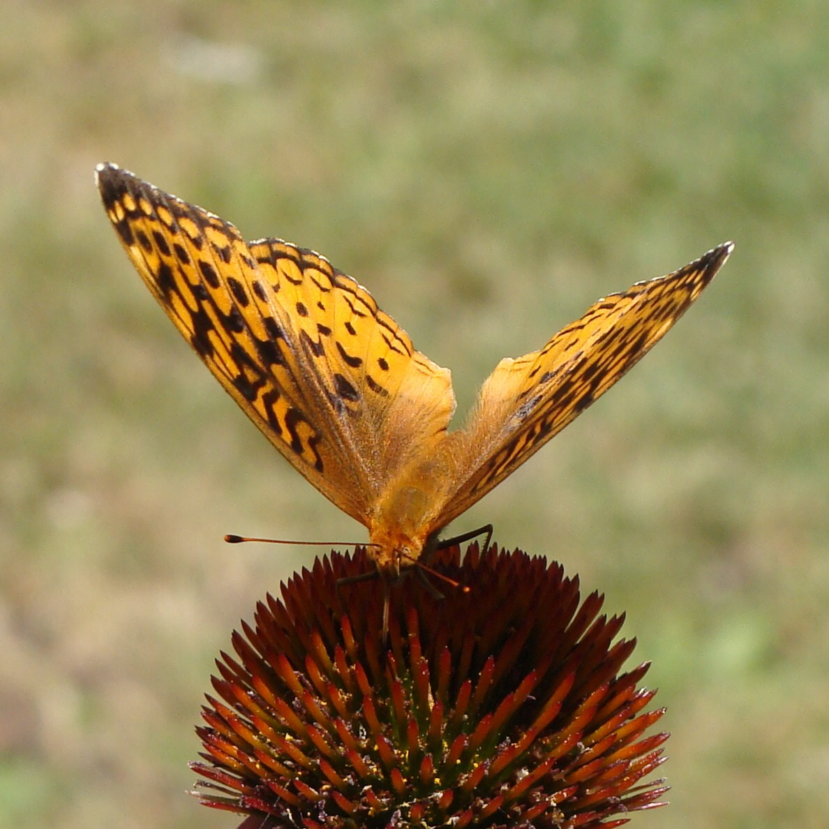 Photograph Great Spangled Fritillary Butterfly 2  by Barnabas    Bozoki on 500px