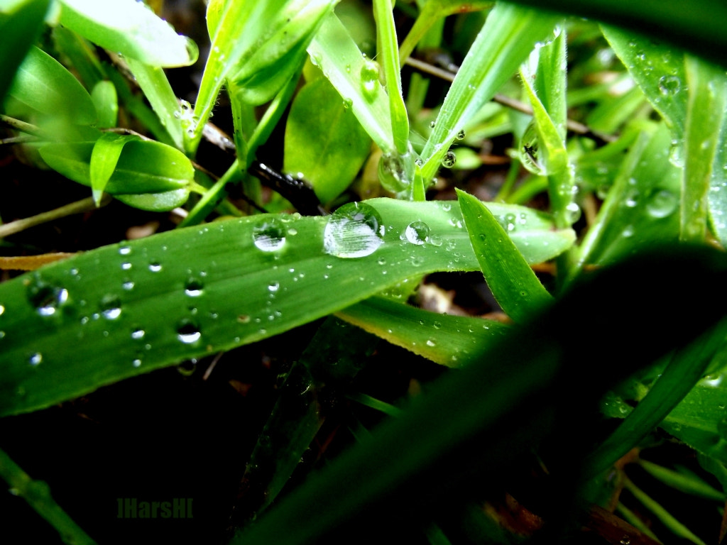Photograph Dew drops on grass-leaf by Harshawardhan Deshpande on 500px