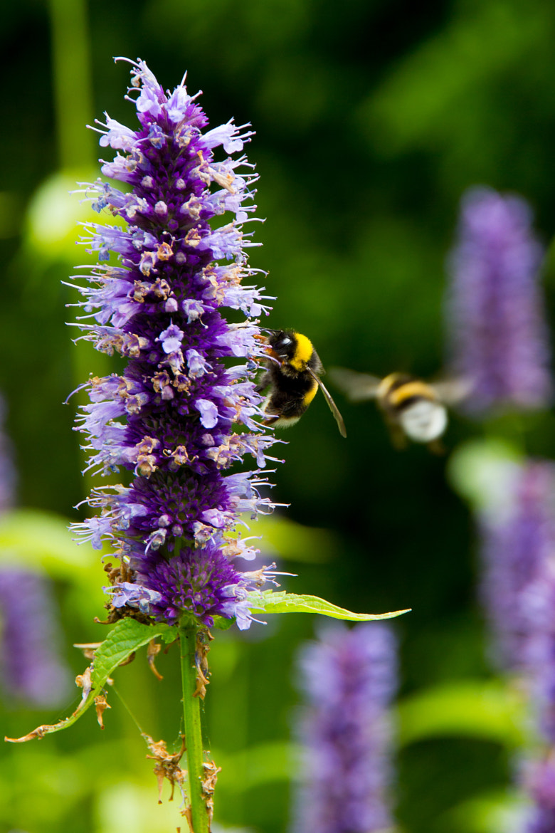 Photograph Bumblebees by TK B on 500px