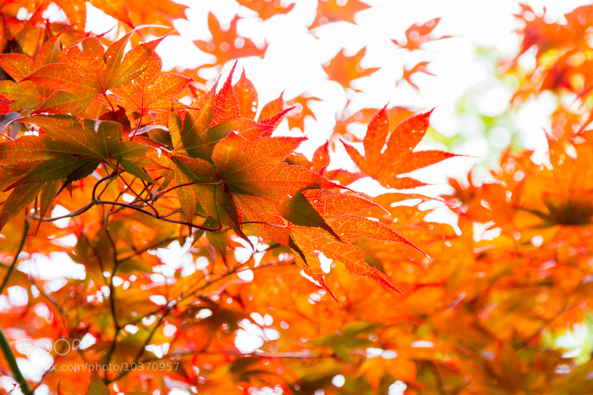 Photograph Red Leaves by TK B on 500px