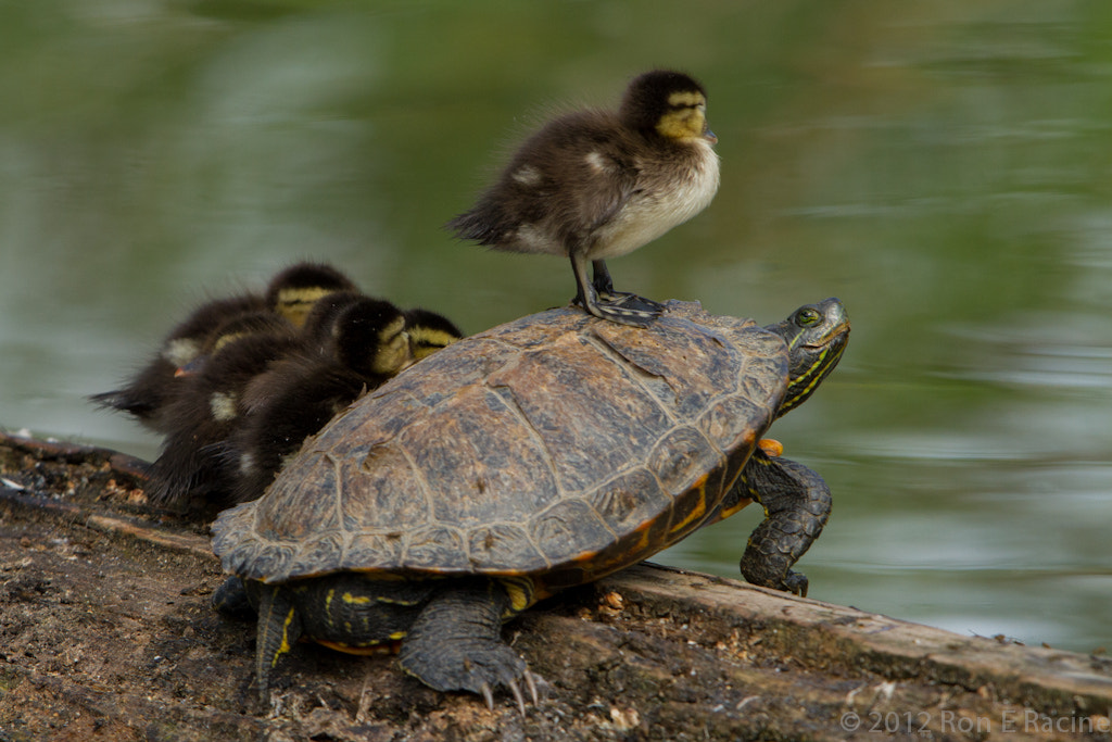 Photograph Riding the Turtle Express by Ron E Racine on 500px