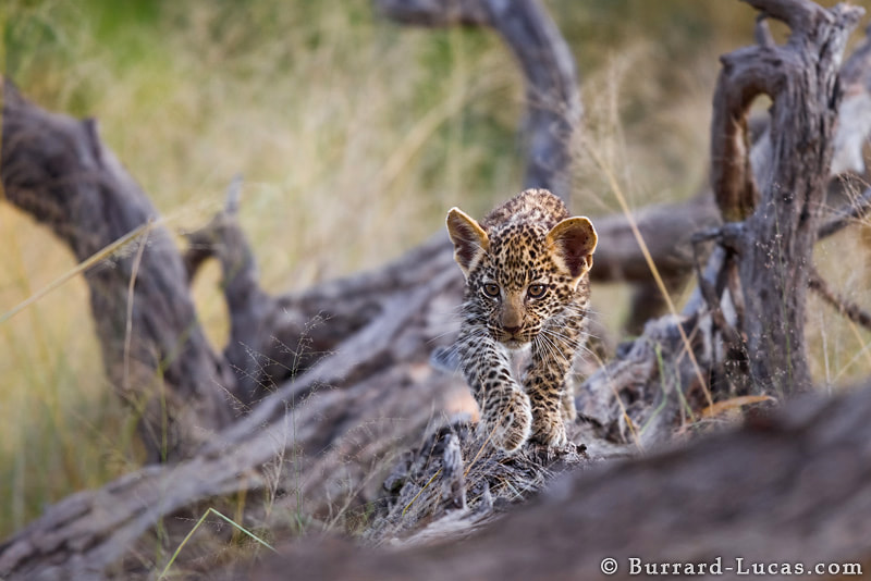 Photograph The Hunter by Will Burrard-Lucas on 500px