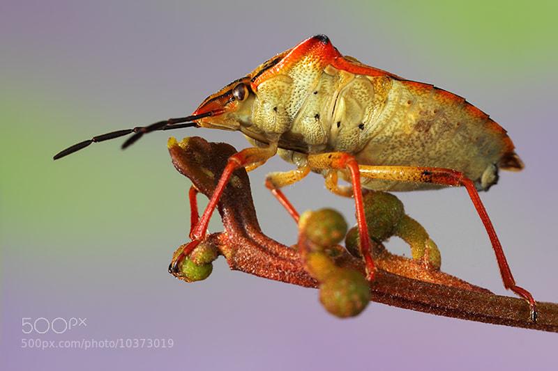 Photograph Hemiptera by Paulo Torck on 500px