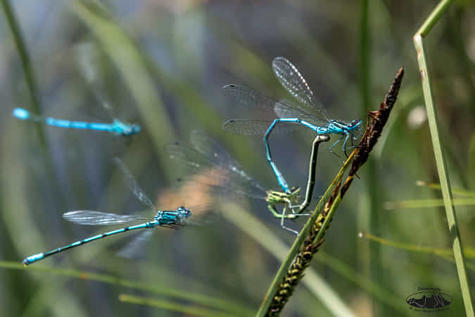 """"""" Blue winged love..."""" by Jean-Michel HUAYCAL"""