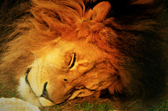 Sleeping lion... by Diamantino Ferreira