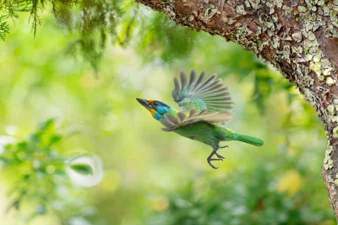 Taiwan Barbet Flying Upwards by FuYi Chen