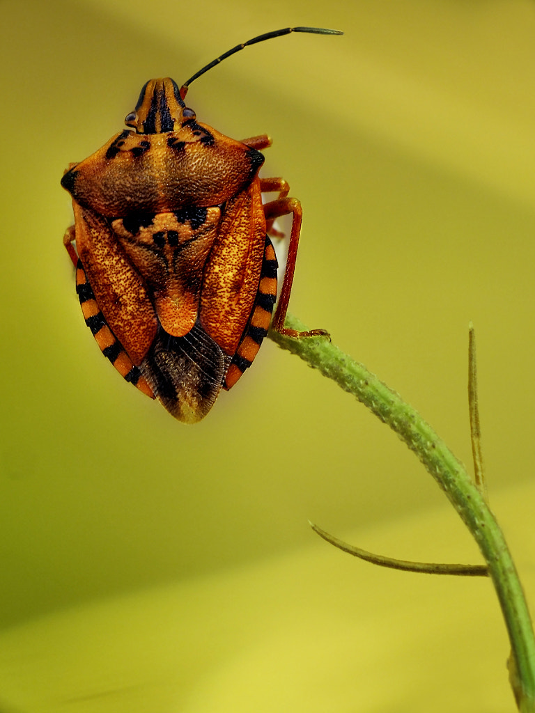 Photograph Heteroptera  by MURAT FINDIK on 500px