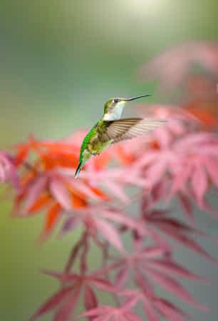 Female Hummingbird by John S