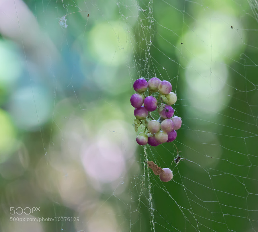 Beauty Berries resting in the web of a Banana spider. Fern Forest Park, Coconut Creek, Florida.