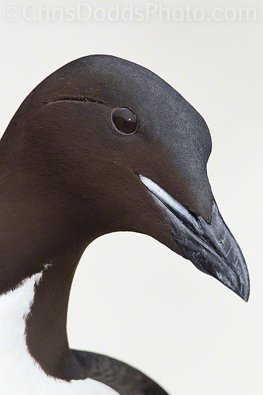 Photograph Thick-billed Murre @ la indian ink by Christopher Dodds on 500px