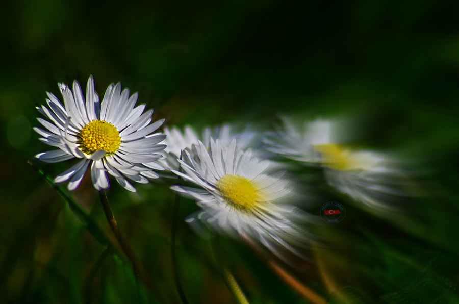 Photograph Daisies as a bride. by Mehmet Çoban on 500px