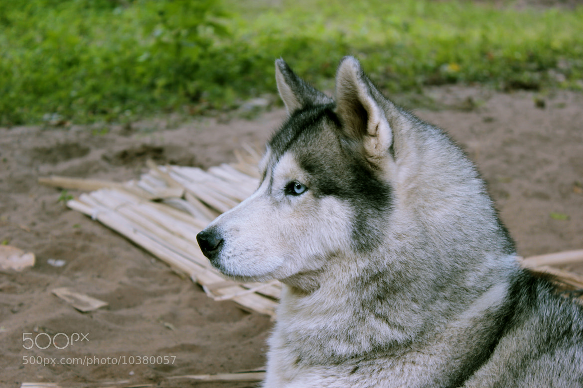 Photograph My Husky by Oz Leguizamón on 500px