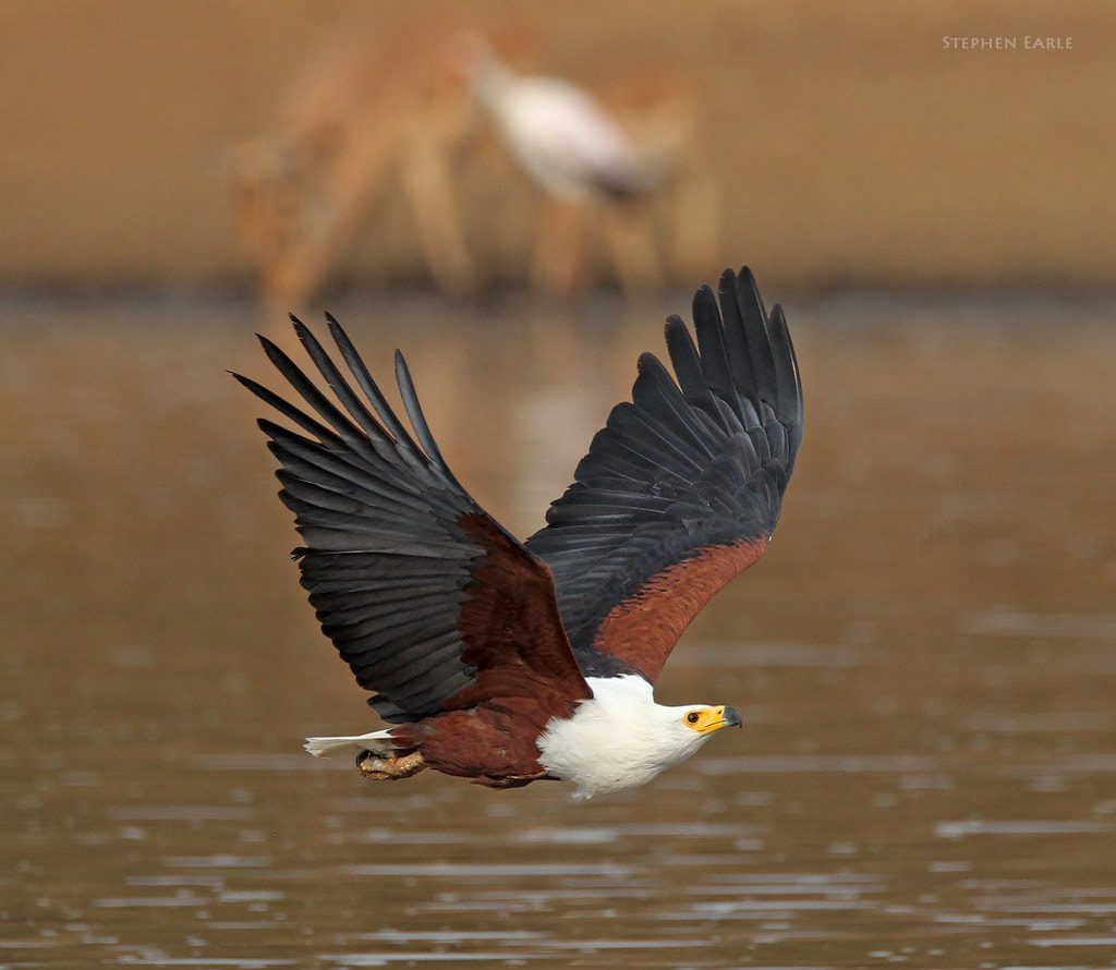 Photograph African Fish Eagle by Stephen Earle on 500px