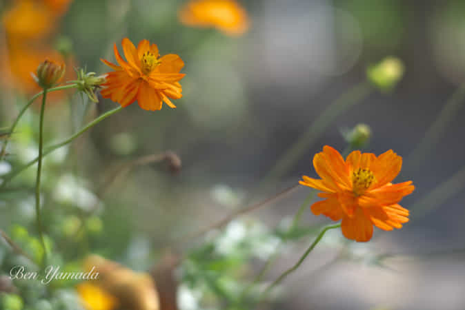 After the rain 6 - Orange Cosmos - by Ben Yamada