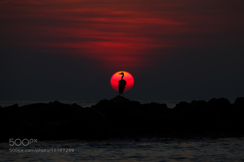 Photograph Grey Heron at Sunset, Maldives by Justin Sneddon on 500px