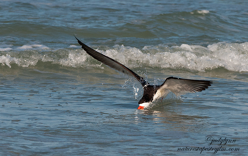 Photograph Just Skimming Along !!! by Judylynn Malloch on 500px