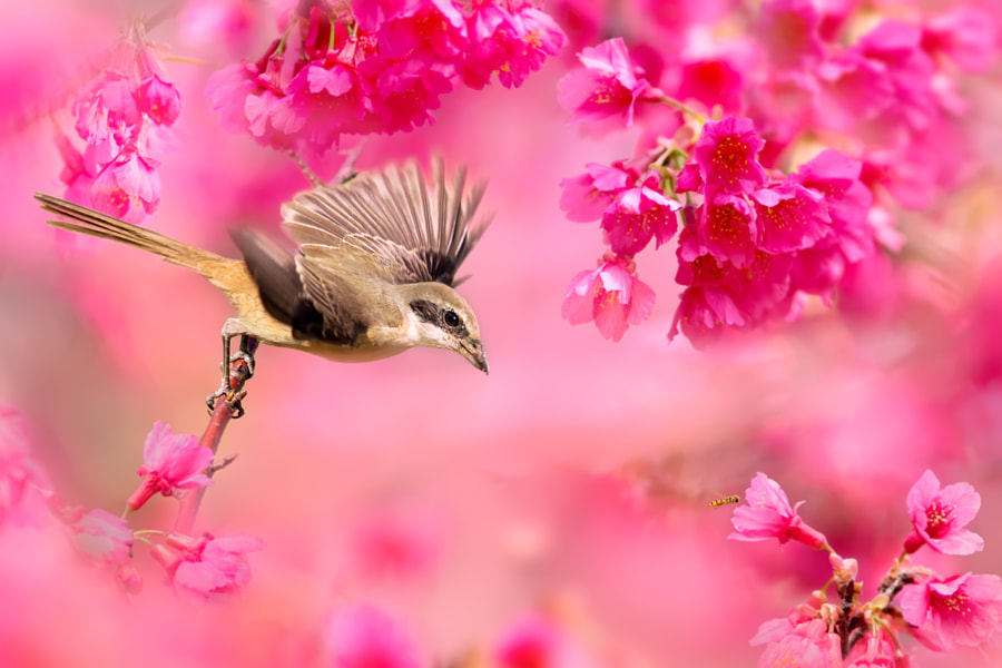 ~ Brown Shrike ~, автор — FuYi Chen на 500px.com