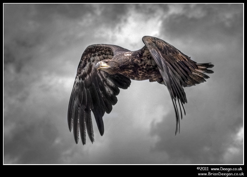 Photograph Bird of prey in flight by Brian Deegan on 500px