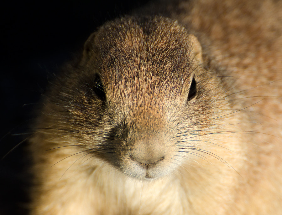 Photograph Prairie dog portrait by Christina Skov on 500px