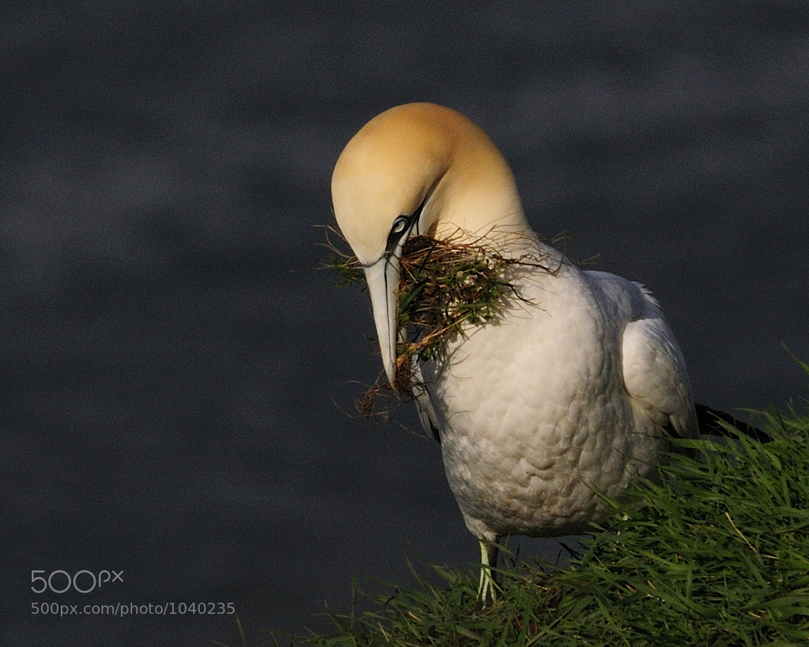 Photograph Gannet grass collecting by Russ Valentine on 500px