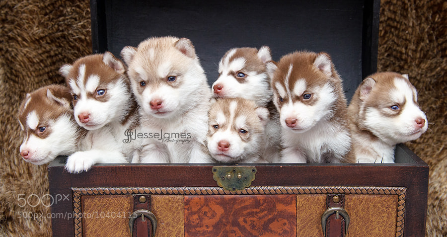 Photograph Siberian Husky Puppies 3 weeks by Jesse James Photography on 500px