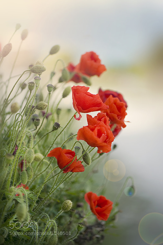 Photograph Poppy Haze by Jacky Parker on 500px