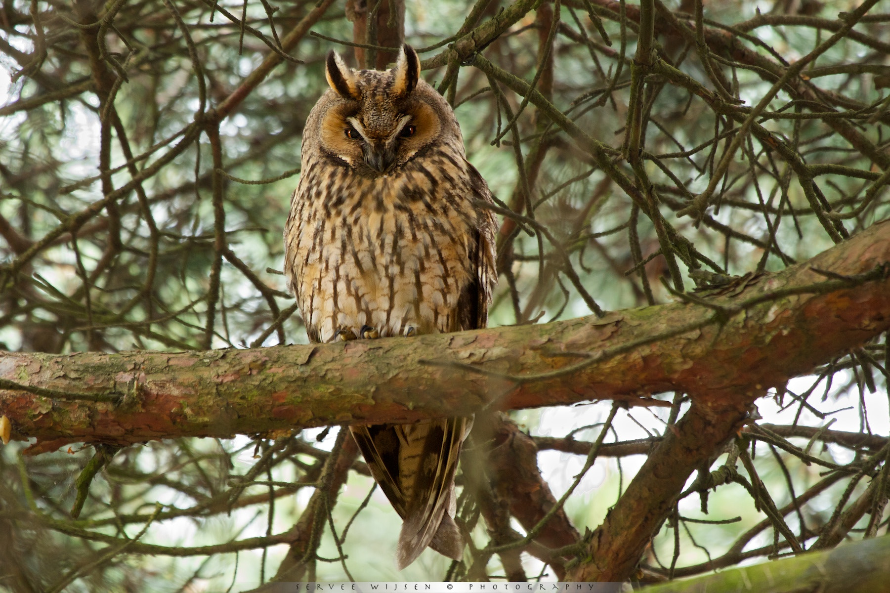 Photograph Long-eared Owl @ rest... by Servee Wijsen on 500px