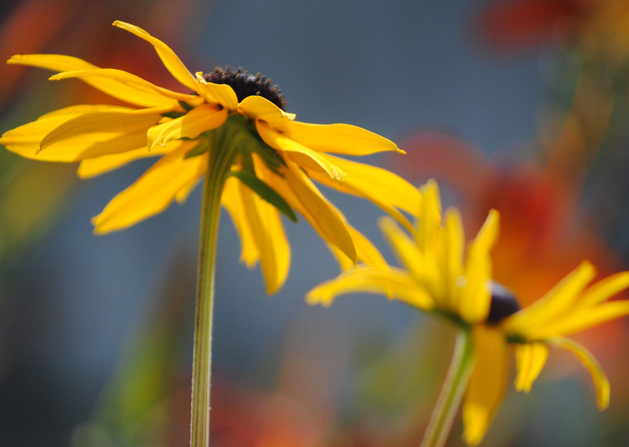 Photograph Yellow daisies by Lori Conklin on 500px
