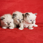 Постер, плакат: Three Little Kittens