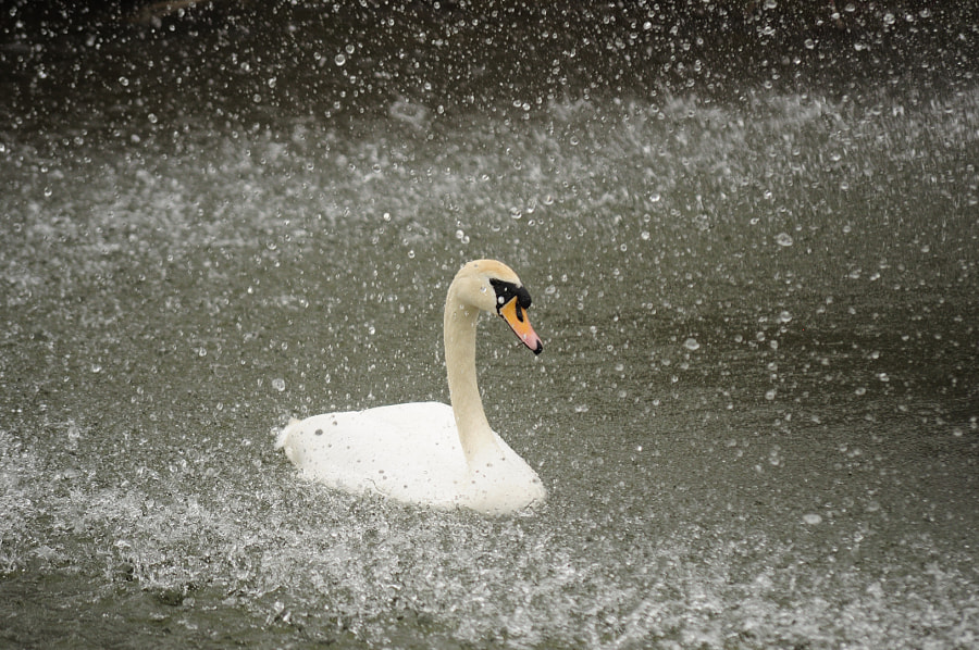 Photograph swan by Elena Strigoun on 500px