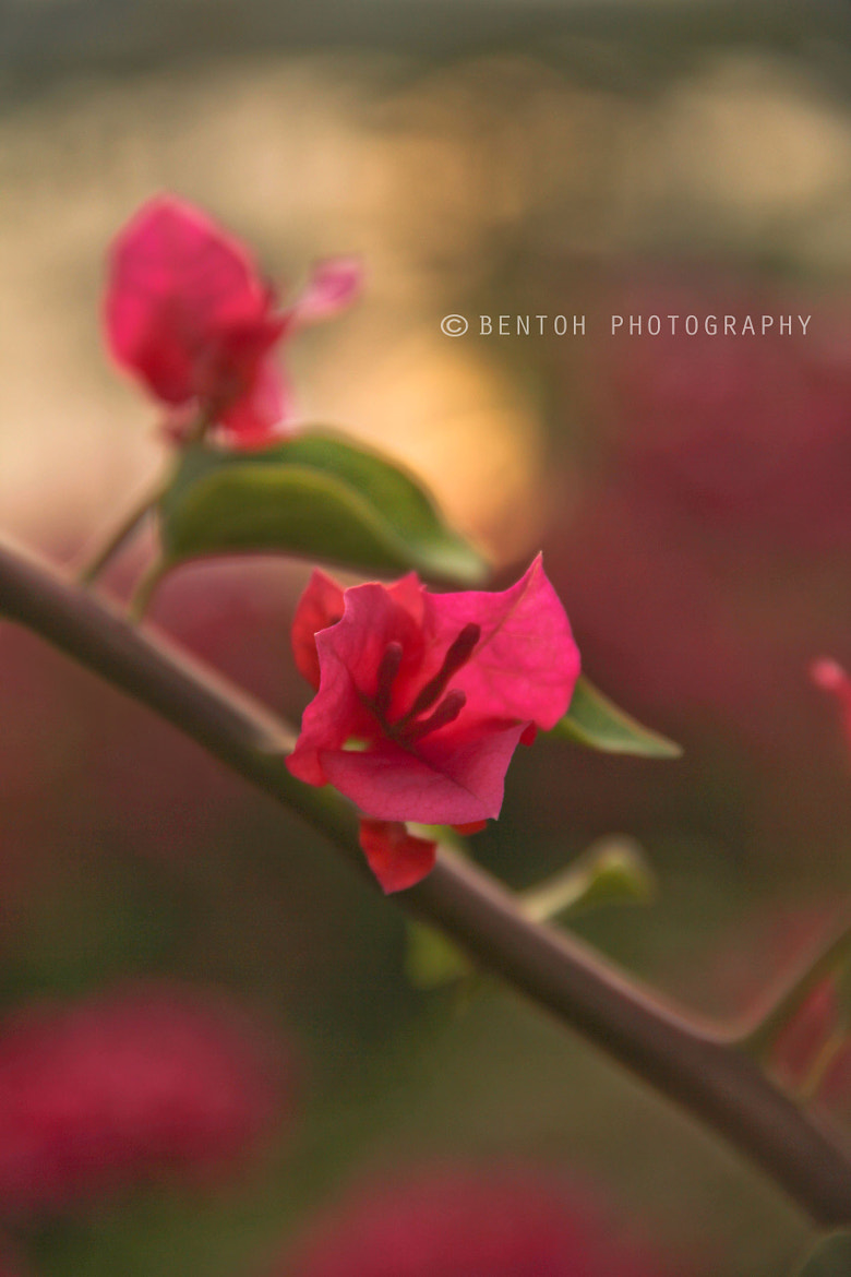Photograph Bougainvillea by Ben Toh on 500px