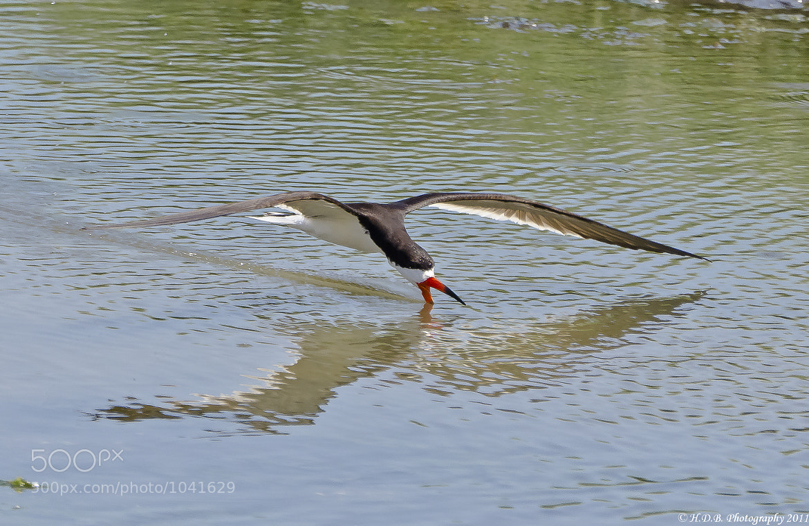 Photograph The Skimmer by Harold Begun on 500px