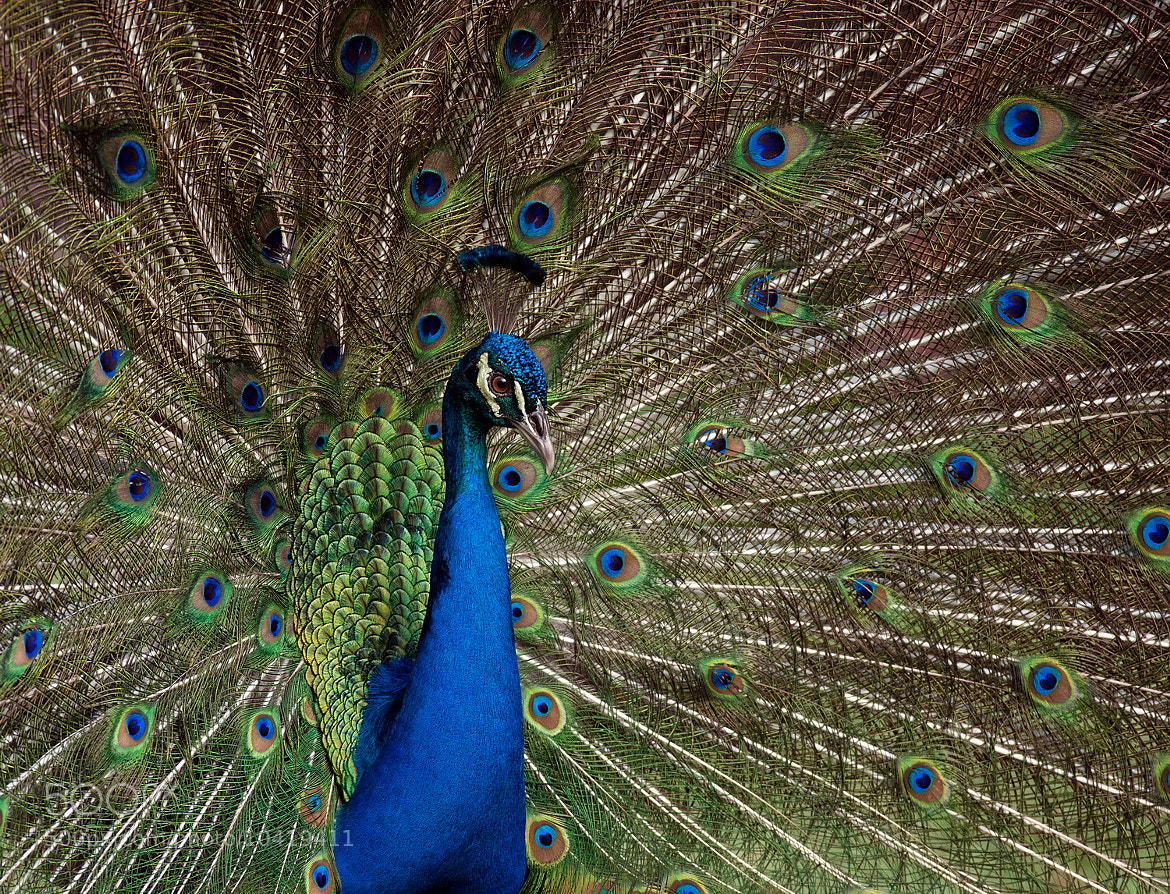 Photograph Blue Peacock by SIJANTO NATURE on 500px