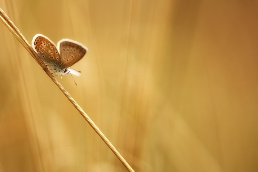Photograph butterfly in meadow by Manfred Huszar on 500px
