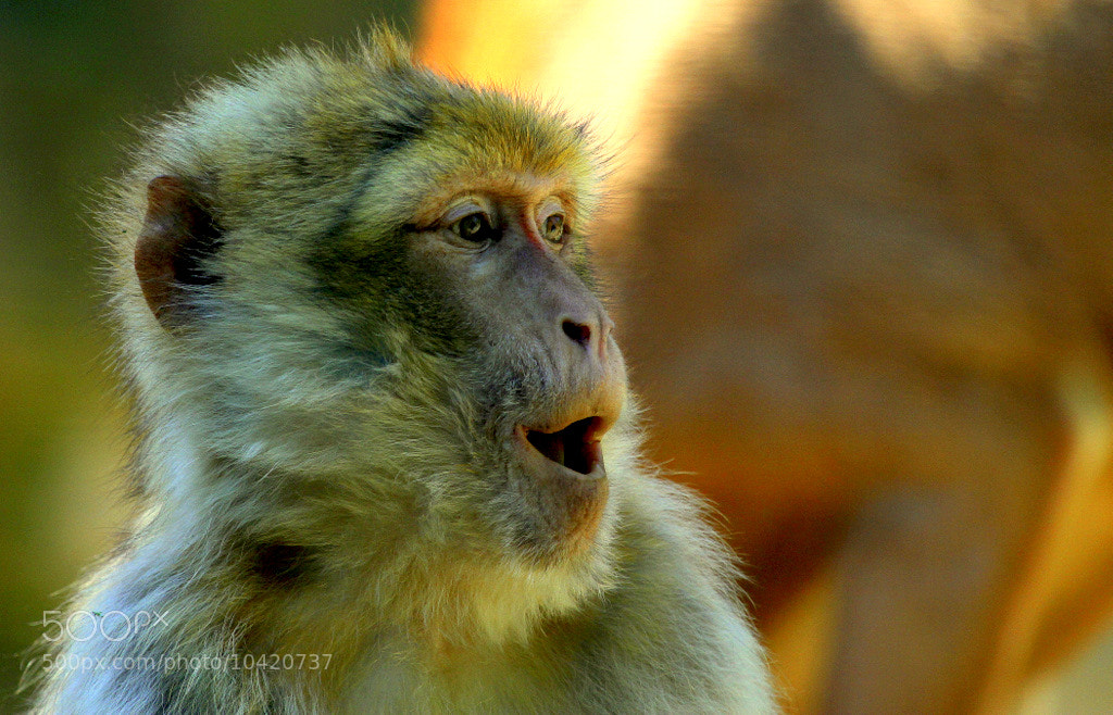 Photograph Astonished Barbary macaque  by Rainer Leiss on 500px