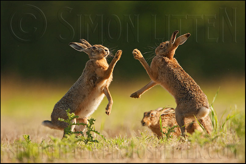 Photograph Boxing Hares by Simon Litten on 500px