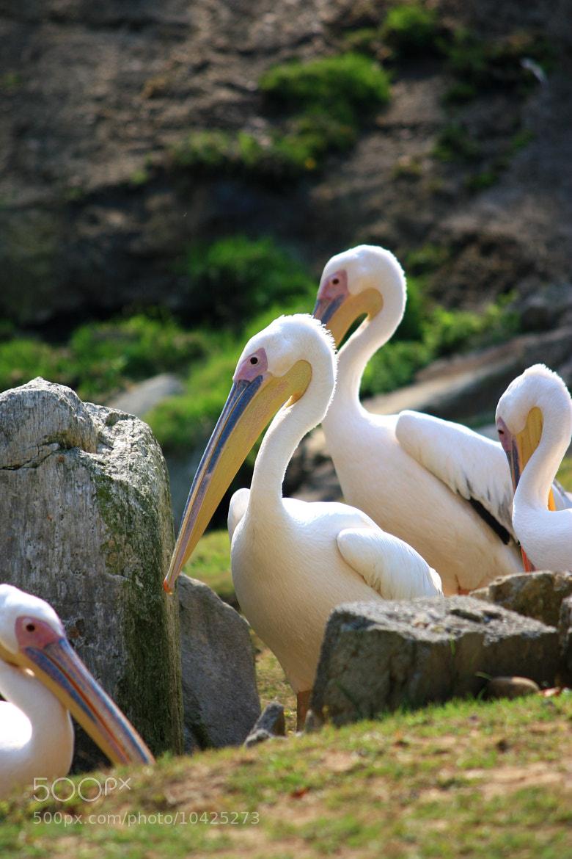 Photograph Pelican by Fabrizio Carrubba on 500px