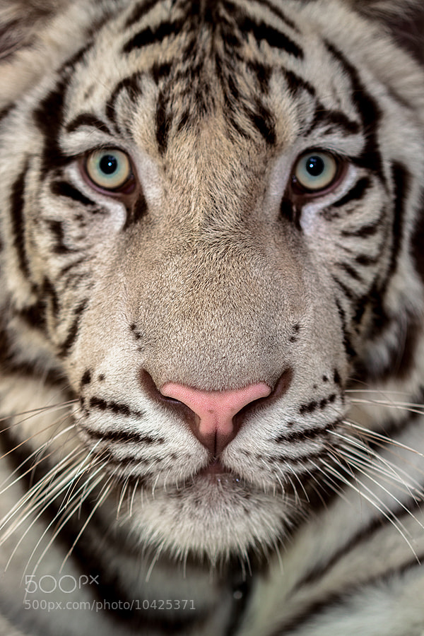 Photograph White Tiger by Lessy Sebastian on 500px